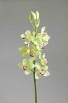"Orchidee ""Cymbidium"" mint"