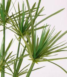 die papyrus pflanze stammt aus zentralafrika auch bekannt unter zyperngras k nstliche. Black Bedroom Furniture Sets. Home Design Ideas